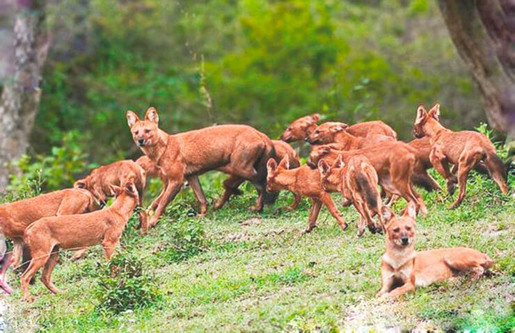 Стая красных волков