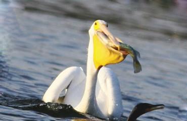 Пелікан рогодзьобий