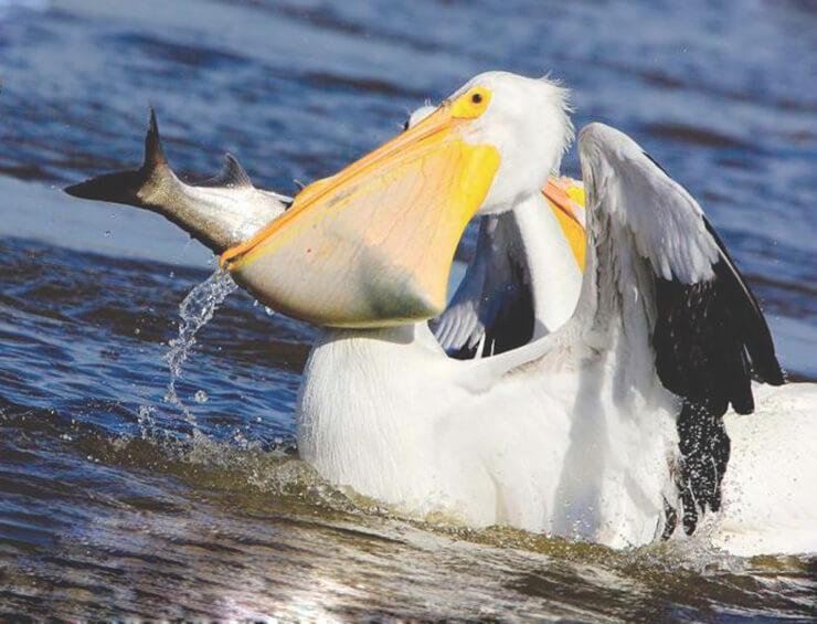 Улов Американского белого пеликана