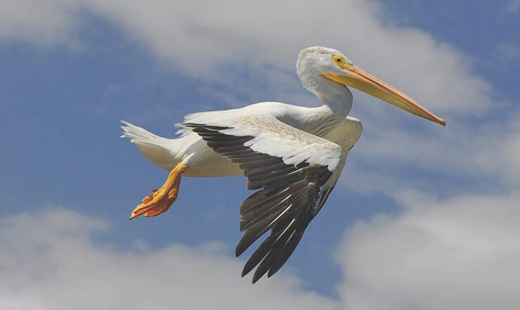 Полёт американского белого пеликана