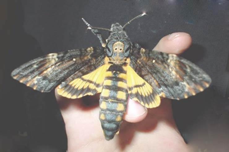 Ладонь с бабочкой мертвая голова
