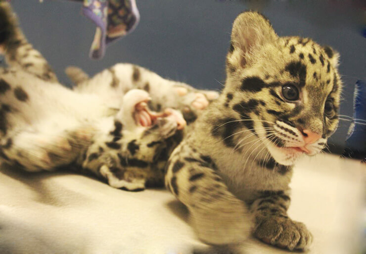 Детёныши дымчатого леопарда