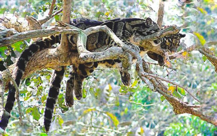 Дымчатые леопарды на дереве