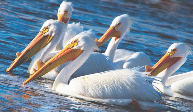 Американский белый пеликан фото