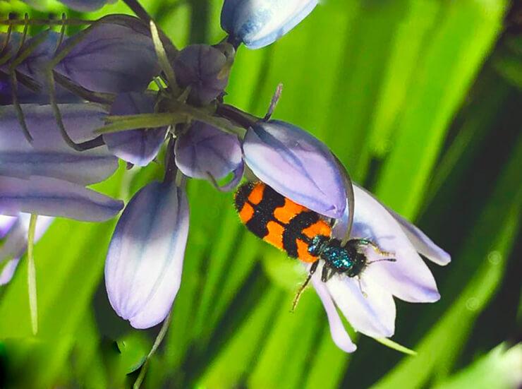 Пчеложук обыкновенный фото