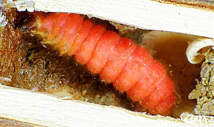 Личинка пчеложука обыкновенного