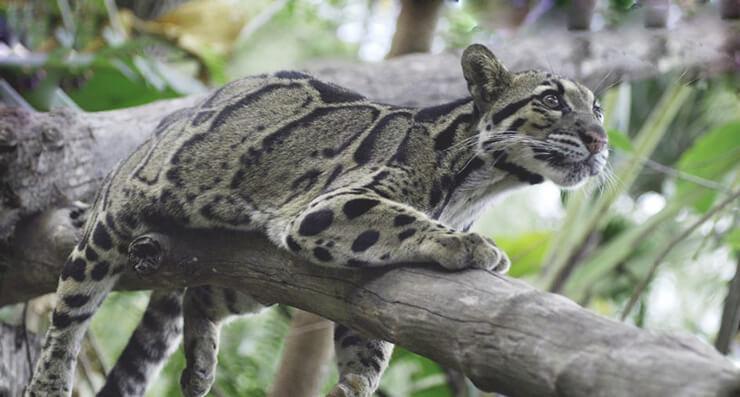 Прогулка дымчатого леопарда по веткам