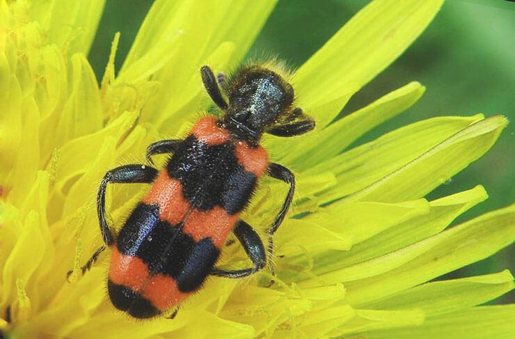 Изображение пчеложука обыкновенного
