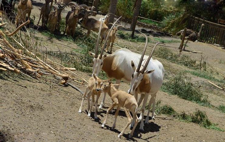 Телята сахарских ориксов