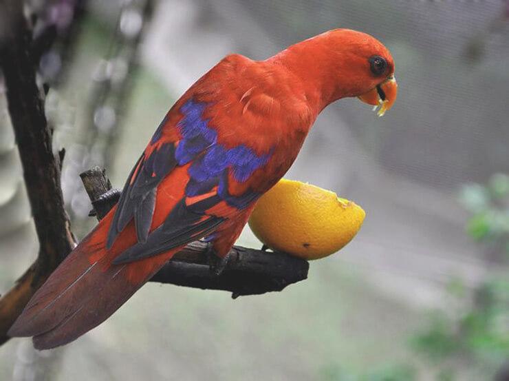 Поедание фрукта сине-красным лори