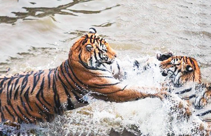 Парочка амурских тигров