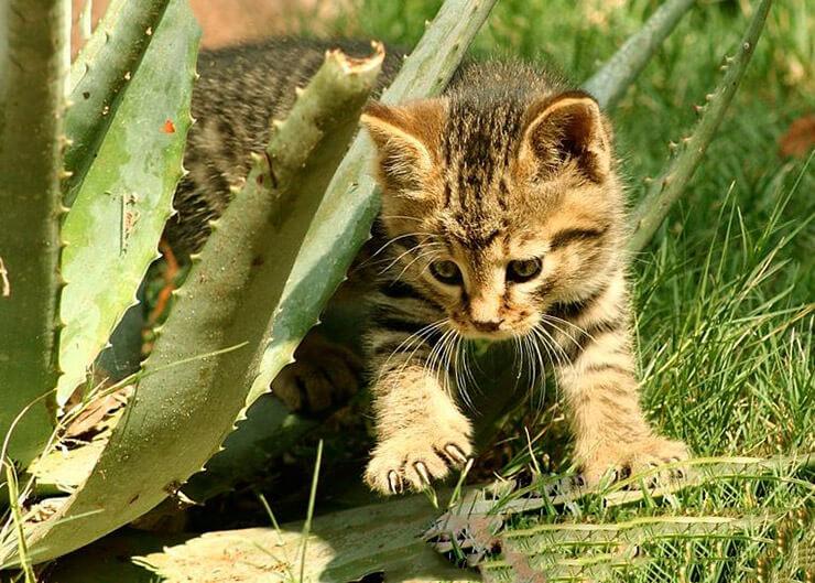 Котёнок степного кота