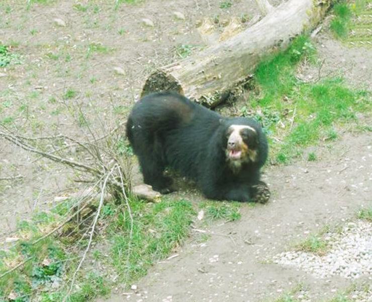 Картинка с очковым медведем