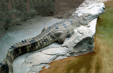 Гавиаловый крокодил