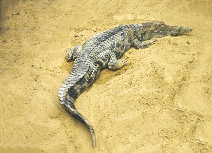 Картинка с гавиаловым крокодилом