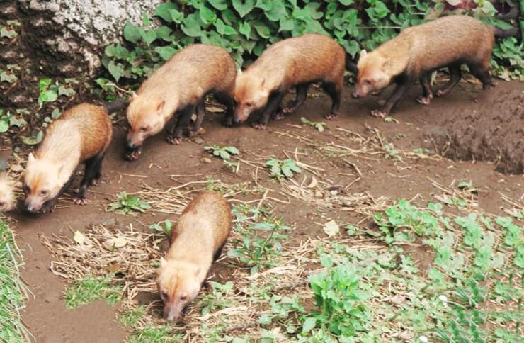 Група кустарниковых собак