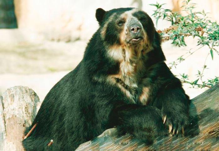 Очковый медведь фото