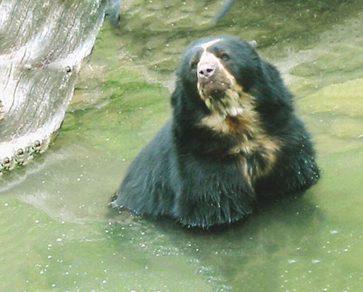 Купание очкового медведя