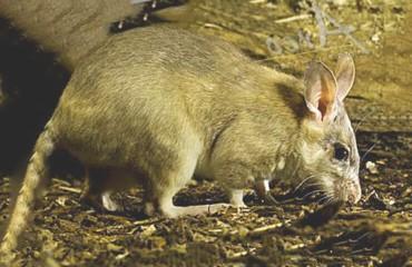 Мадагаскарский гигантский хомяк