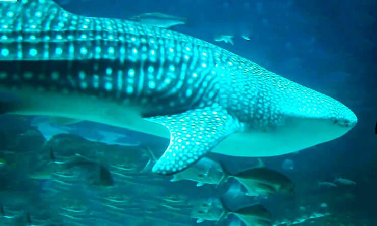 Морда зебровой акулы