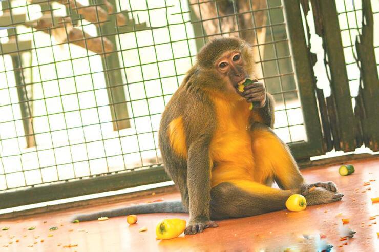 Обед золотобрюхого мангобея