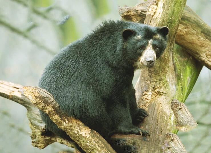 Дерево с очковым медведем
