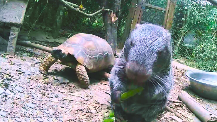 Черепаха с пакараной