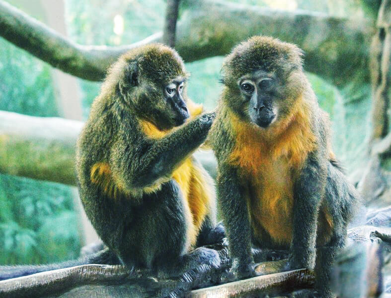 Отдых золотистых мангобеев