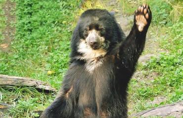 Очковий ведмідь, або андський ведмідь