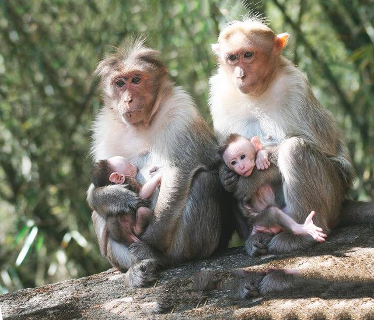 Группа индийских макак