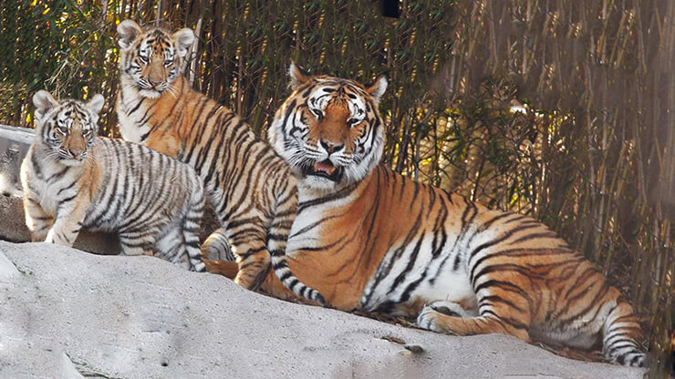 Семейство амурских тигров
