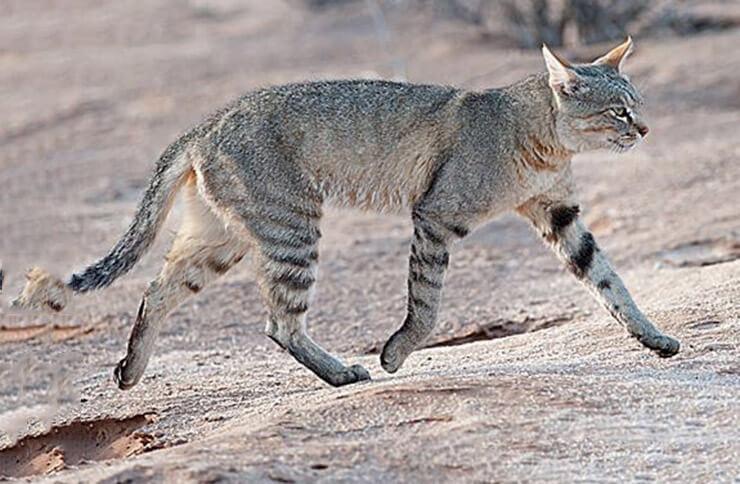 изображение степного кота