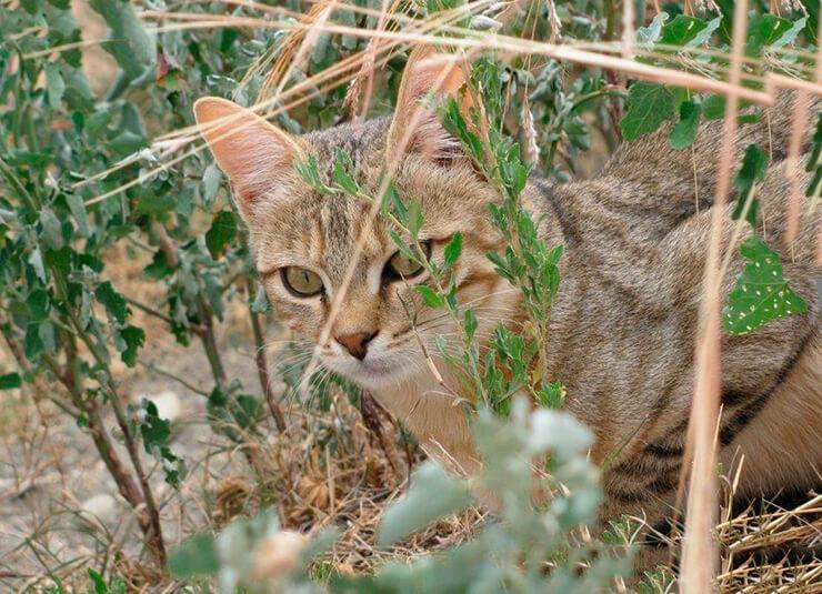 Укрытие степного кота