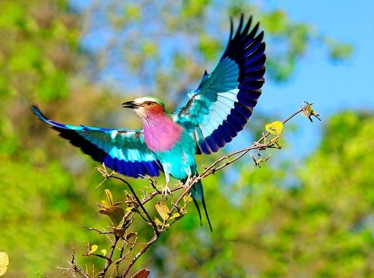 Распахнутые крылья сиреневогрудой сизоворонки