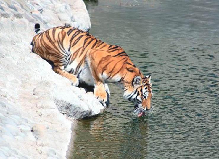 Водопой амурского тигра