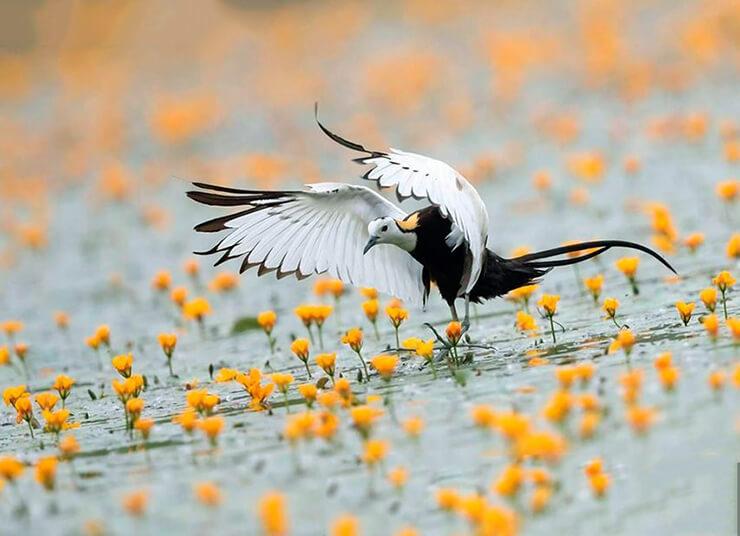 Водяной фазанчик фото