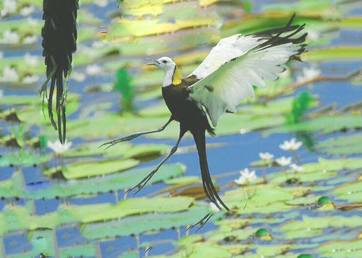 Пара водяных фазанчиков