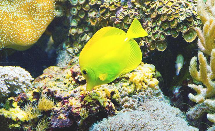 Аквариум с зебрасомой желтой