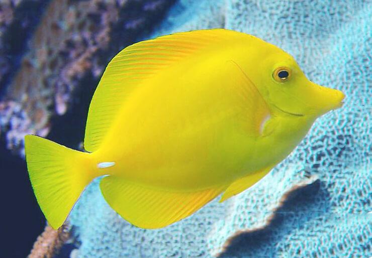 Зебрасома желтая фото