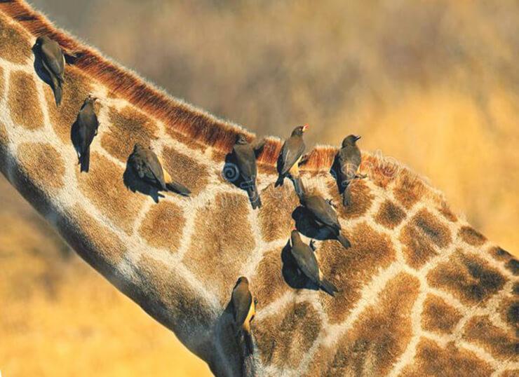 Жираф с Желтоклювыми буйволовыми скворцами