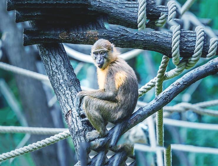 Золотобрюхий мангобей фото