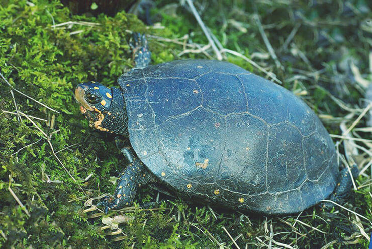 Пятнистая черепаха в траве
