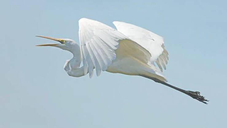 Полёт большой белой цапли
