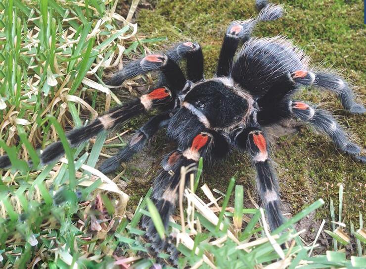 Мексиканский огненноколенный паук-птицеед фото