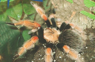 Брахипельма баумгартени