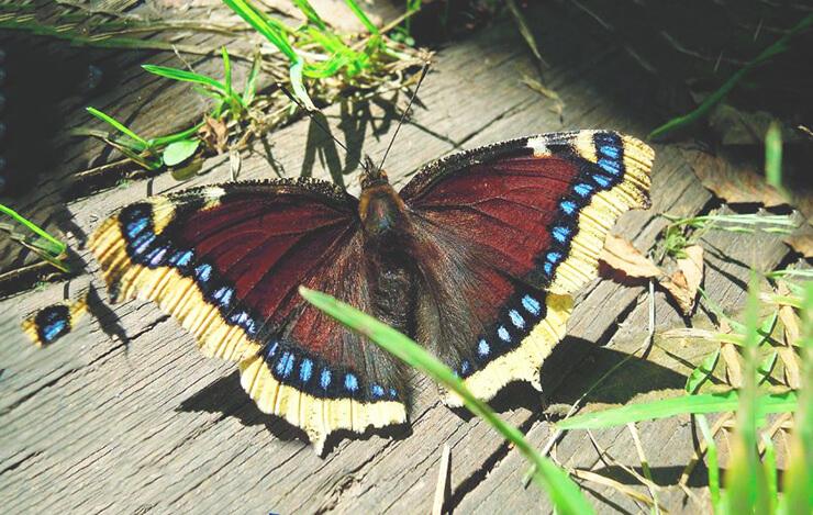 Картинка с бабочкой траурницей