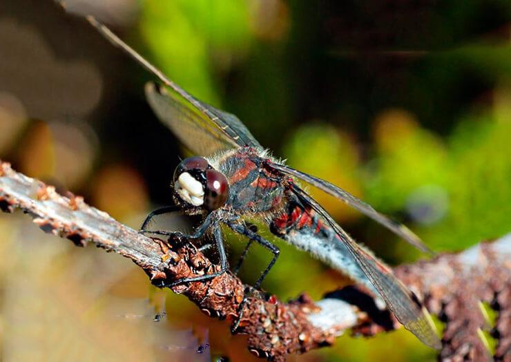 Изображение стрекозы красной