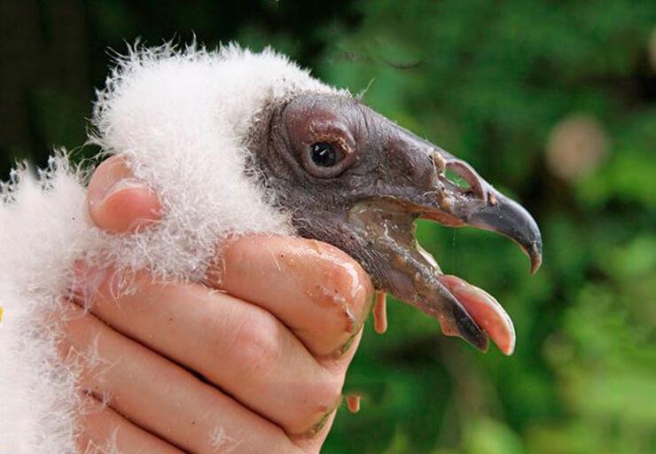 Птенец грифа-индейки