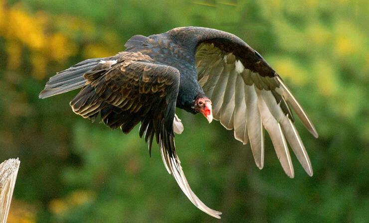 Полёт грифа-индейки