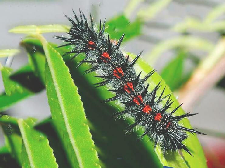 Гусеница бабочки траурницы